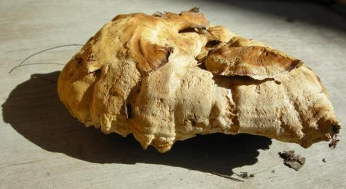 Polypore cannelle