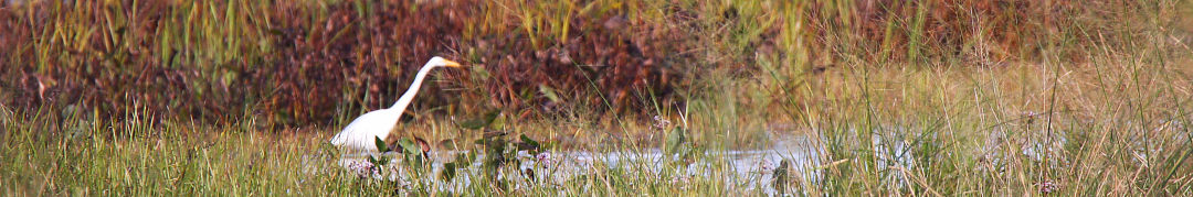 aigrette-Canal_Beauharnois-2016-1019-LucR
