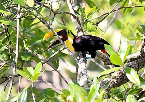 Black-mandibled Toucan - Toucan tocard