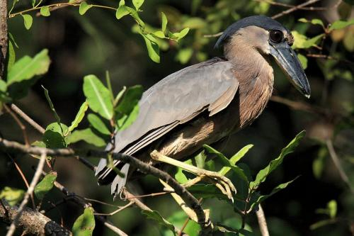 Boat-billed Heron-Savacou huppé
