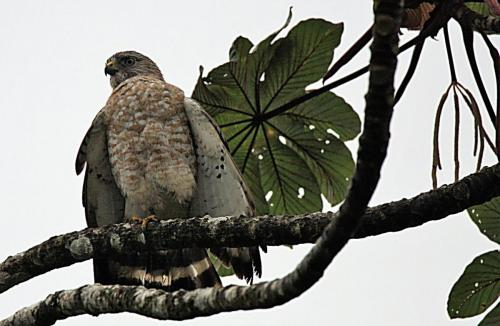 Broad-winged Hawk- Petite buse