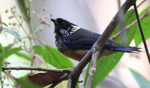 Spangle-cheeked Tanager - Calliste pailleté